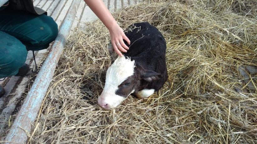 Первые телята появились у коров на строящемся животноводческом комплексе «Ступинская Нива»
