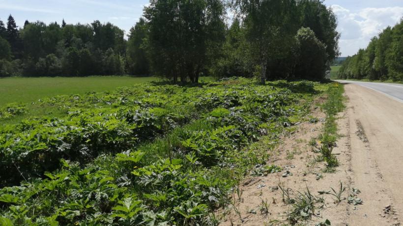 Работы по ликвидации борщевика ведутся на более чем 7 тыс. земельных участках в Подмосковье