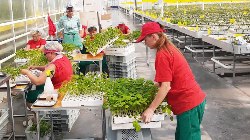Агрокомплекс Электростали приступил к промышленному производству баклажана