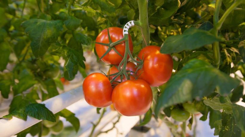 Более 70 тыс. тонн овощей собрали в тепличных хозяйствах Подмосковья с начала года