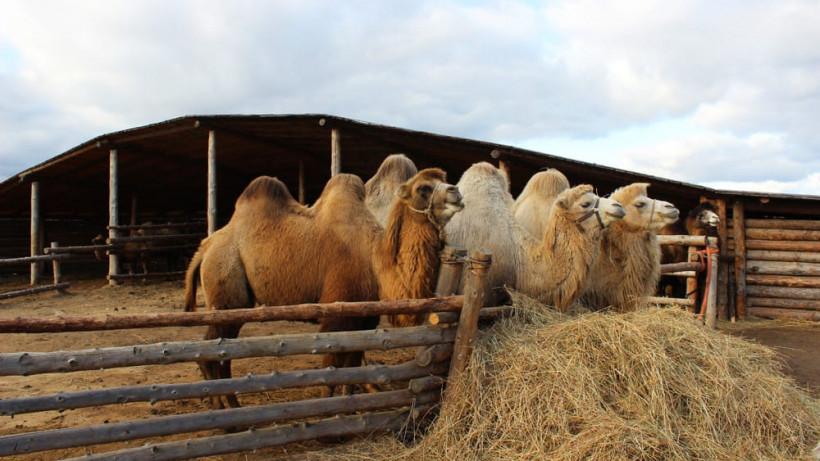Диагностические исследования и вакцинацию верблюдов провели в 10 хозяйствах Подмосковья