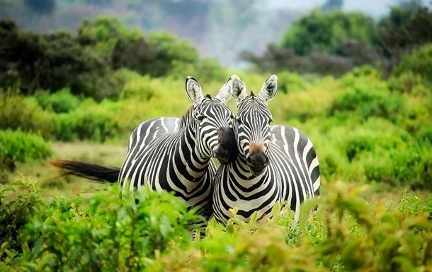 Развенчан миф о полосах на шкуре зебры