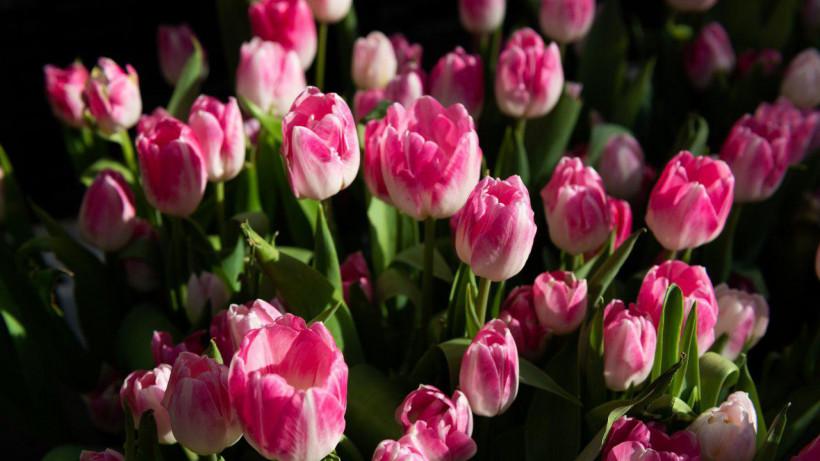 Тепличный комплекс по выращиванию тюльпанов построят в Раменском округе до конца года
