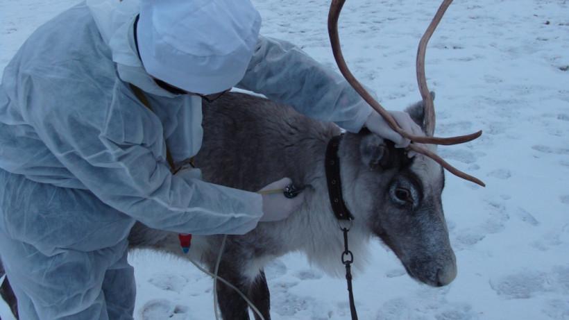 Ветспециалисты Минсельхозпрода региона обследовали более 100 голов оленей с начала года