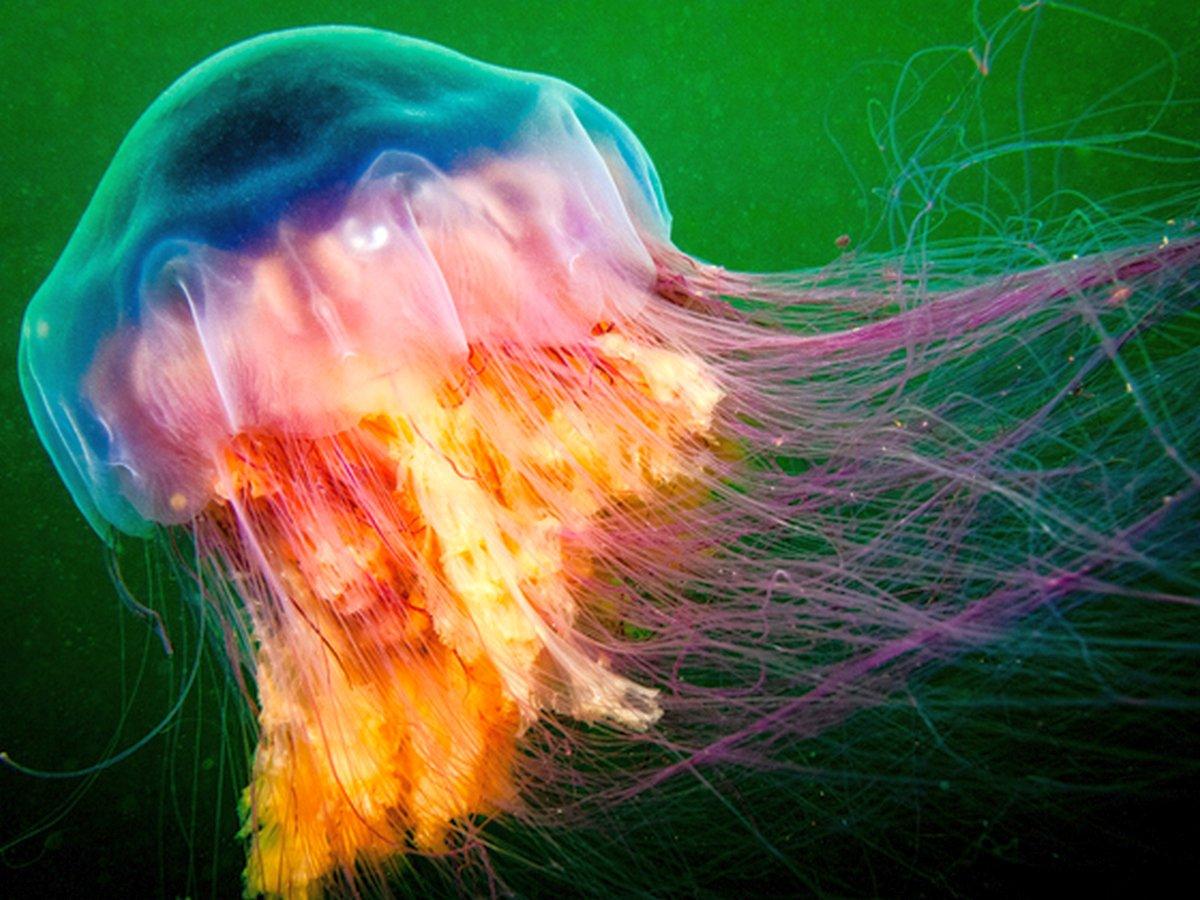 Самая большая медуза в мире