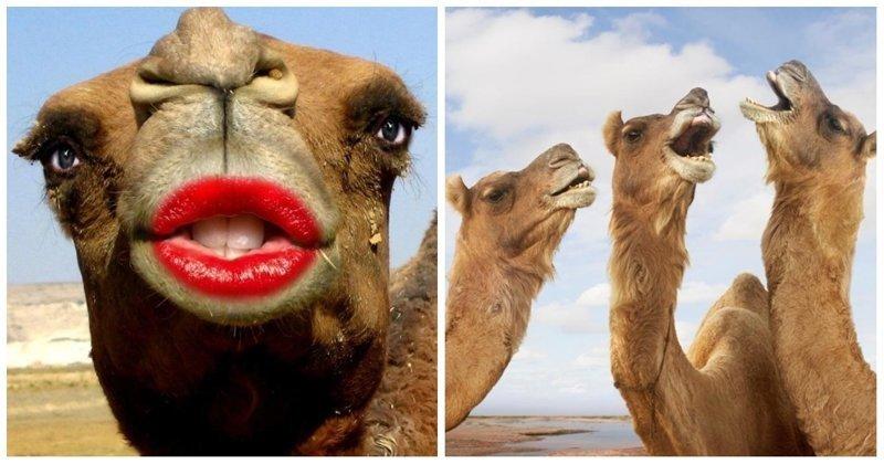 Конкурс красоты для верблюдов