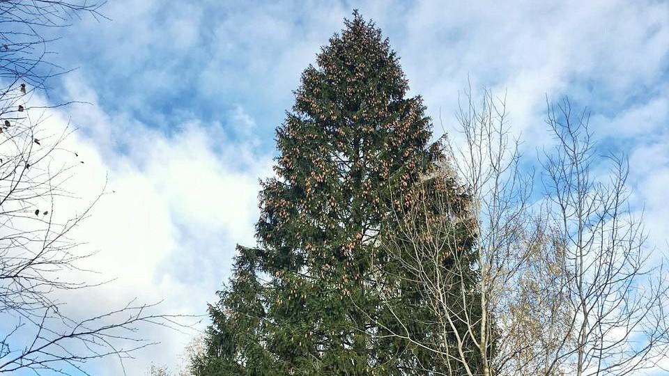 Главную новогоднюю елку страны выбрали в Наро-Фоминском округе