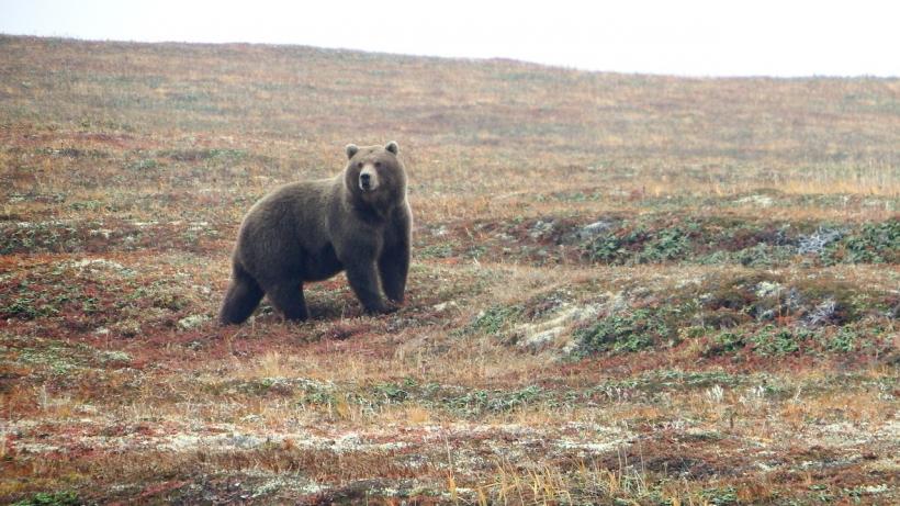 Медведя-шатуна после поимки в Московской области планируют ввести в спячку