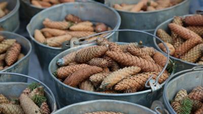 Акция по сбору шишек прошла в Заокском участковом лесничестве «Русский лес»