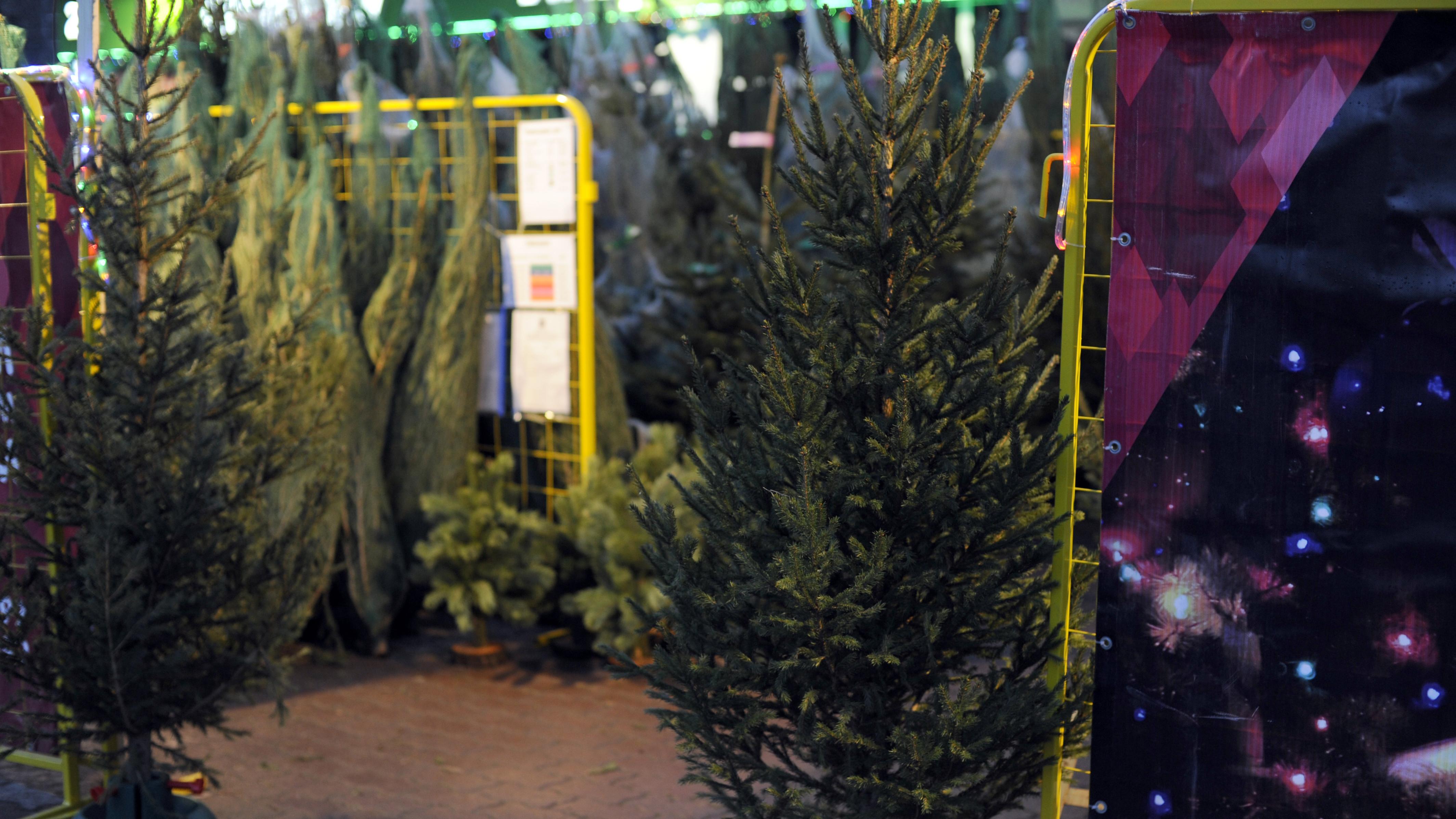 Елочный базар Ивантеевского лесопитомника перешел на работу без выходных