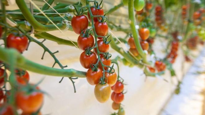 Сбор коктейльного сливовидного томата начался в каширском тепличном комплексе