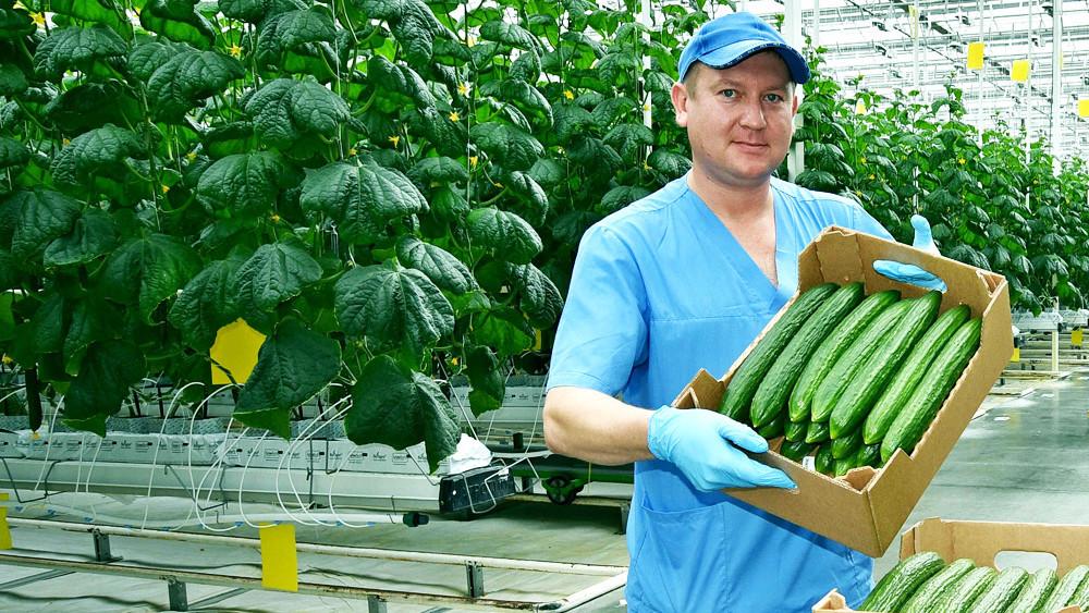 Сбор овощей в тепличных хозяйствах Подмосковья увеличился на 14%