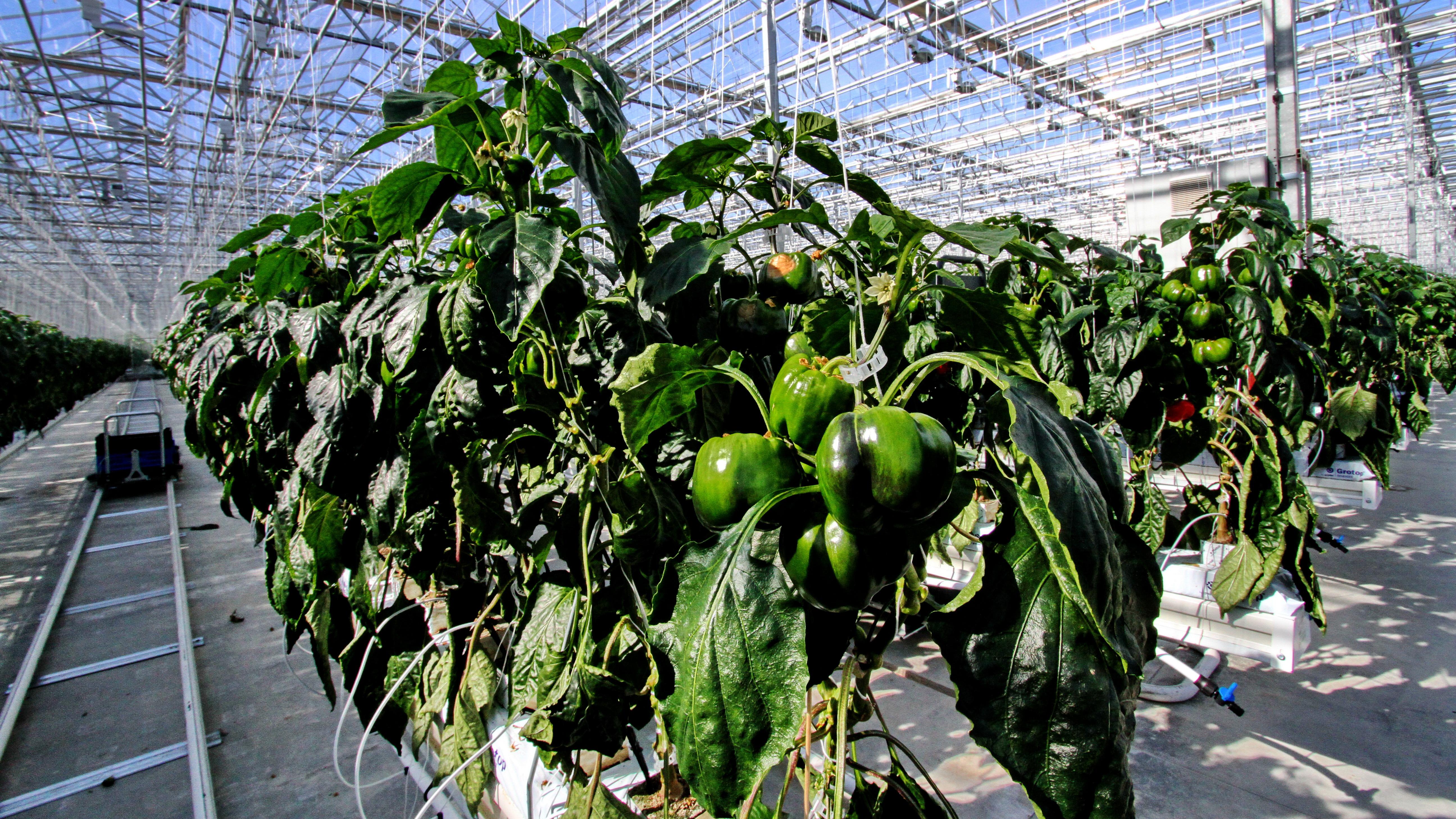 Сбор тепличных овощей в регионе планируется увеличить до 100 тыс. тонн по итогам 2020 года