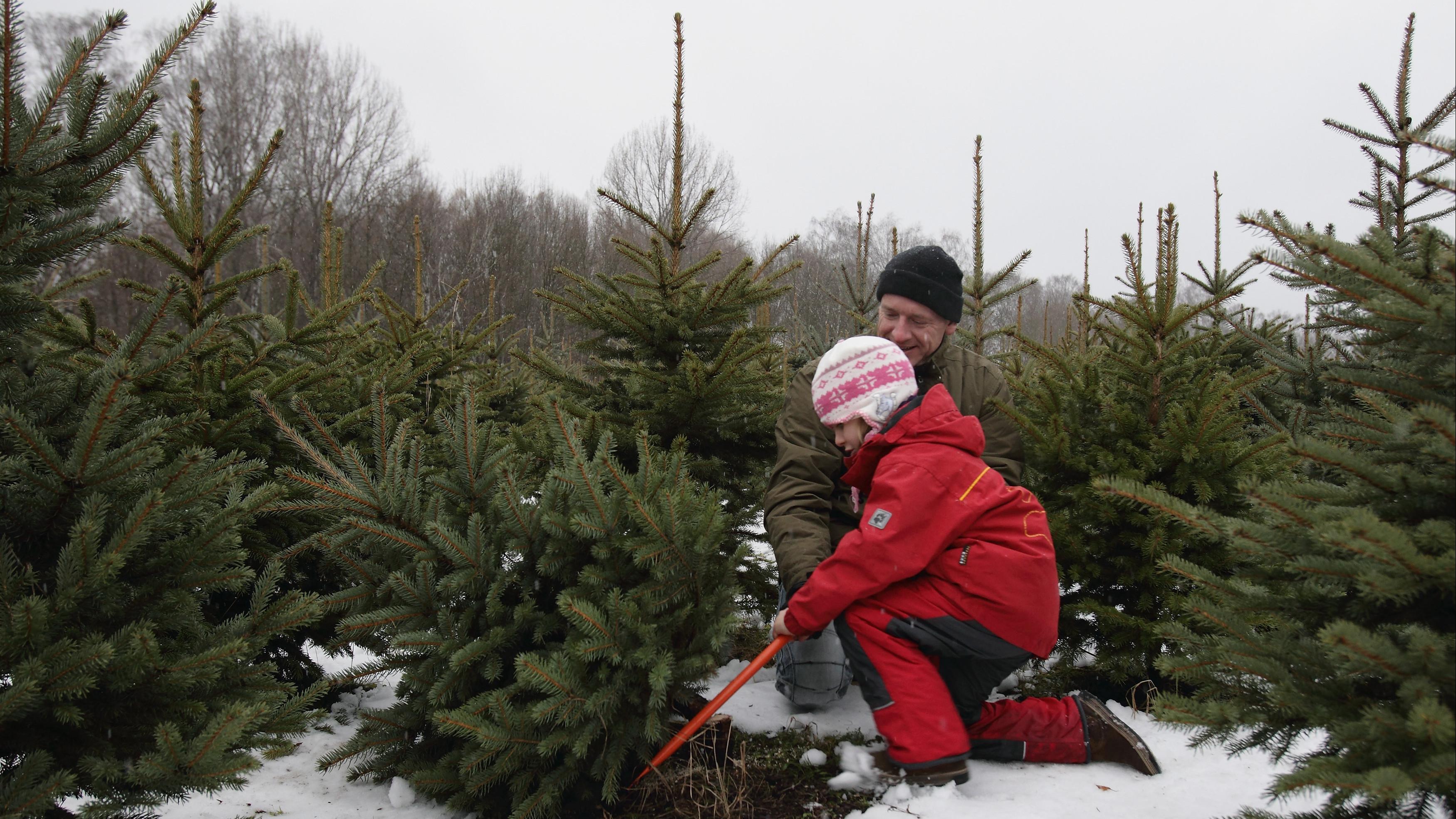 Срубить елку в подмосковных питомниках будет возможно с 18 декабря