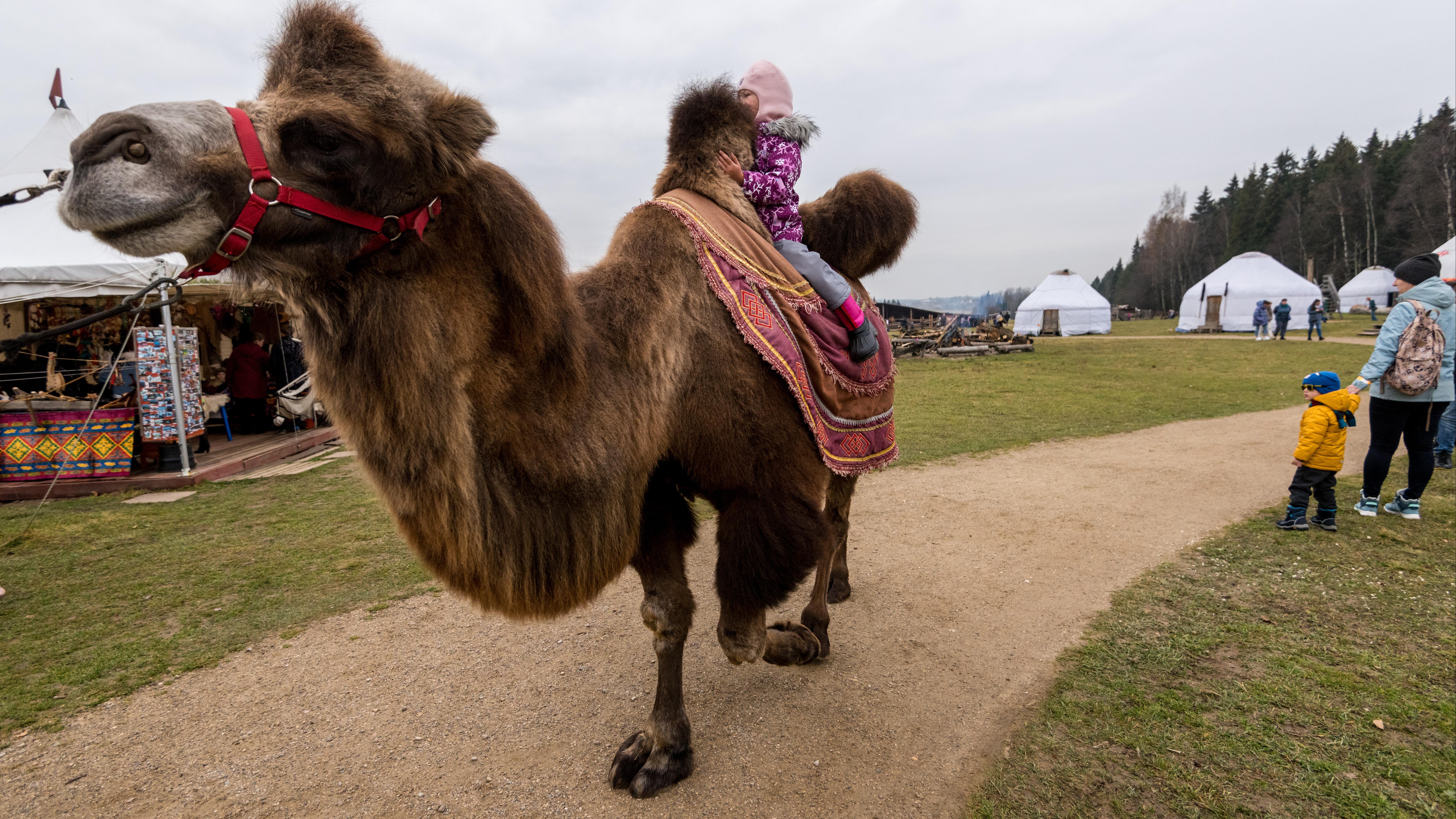 Суровый Север и верблюжьи нежности: подкаст «Путь-дорога» побывал в этнопарке «Кочевник»
