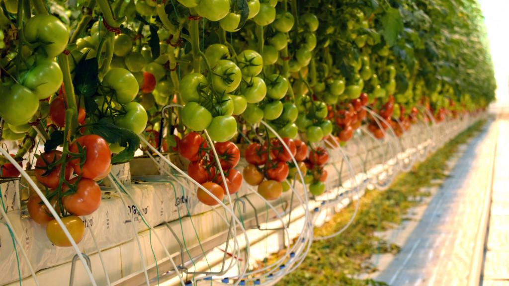 Теплицы Подмосковья поставят свыше 18 тыс. тонн свежих овощей к праздникам