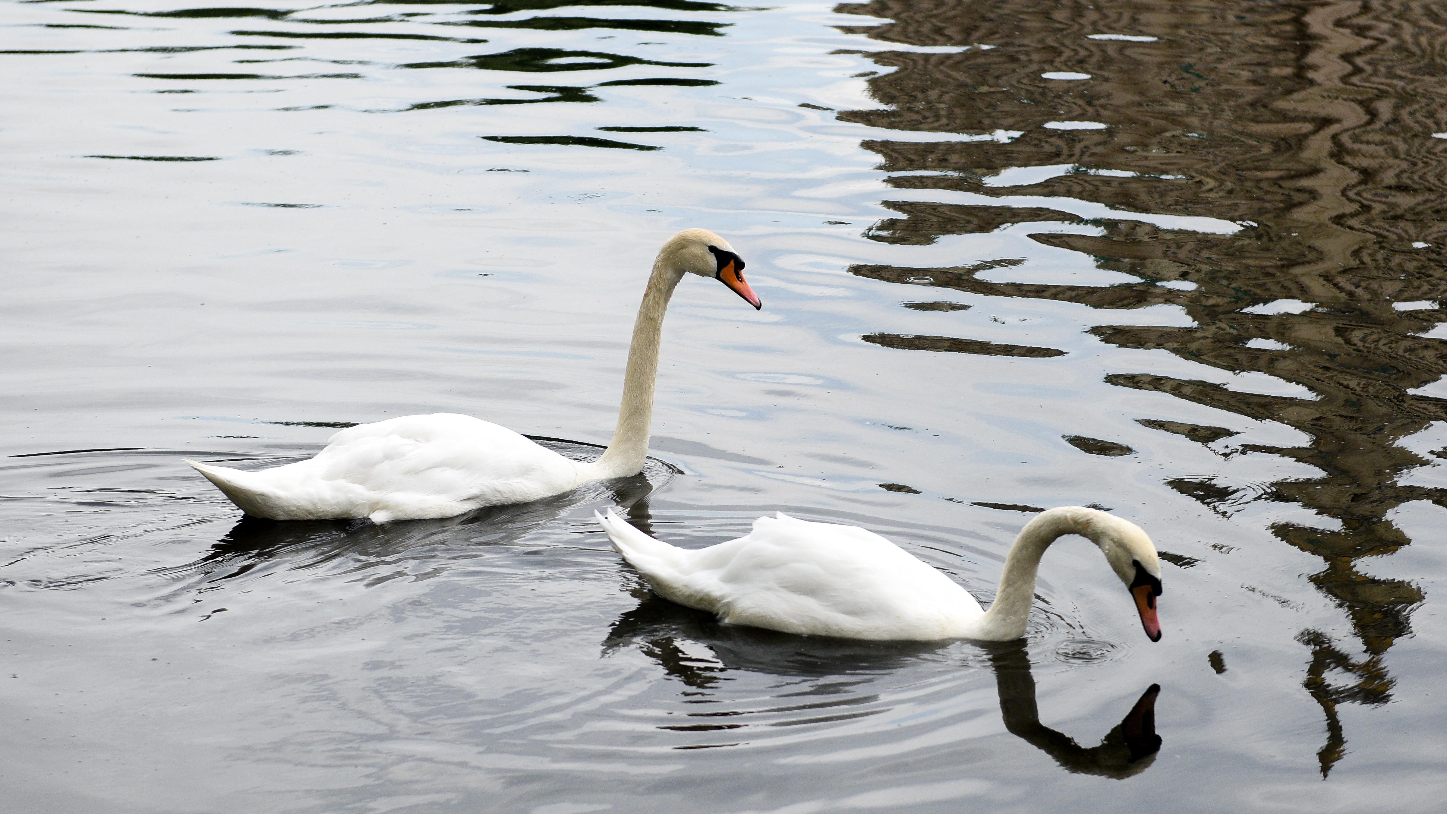 Жителям Подмосковья рассказали, почему лебедей еще можно увидеть на водоемах региона