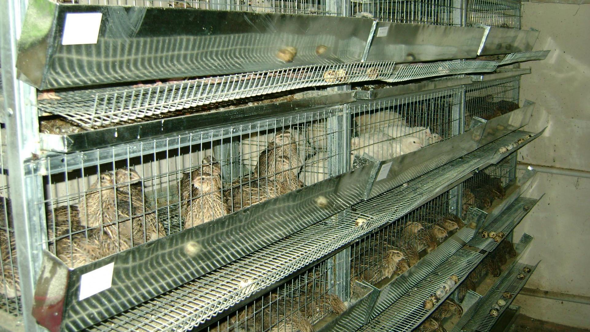 Более 30 млн штук перепелиных яиц произвели птицефабрики Подмосковья в 2020 году