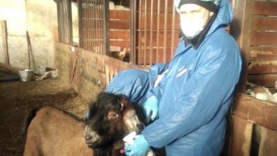 Около 100 голов племенного мелкого рогатого скота привезли в Подмосковье из Венгрии