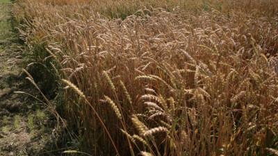 Площадь под посев зерновых и зернобобовых культур увеличат в Подмосковье на 10% в 2021 году