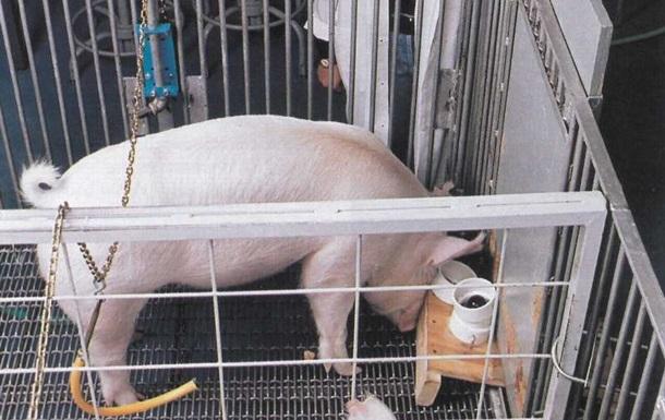 Ученых ошеломили умственные способности свиней