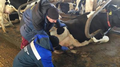 Ветеринары осмотрят порядка 230тыс. голов крупного рогатого скота к пастбищному сезону