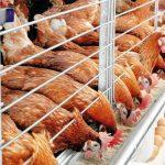 Минсельхоз поддержит производителей птицы и яиц в надежде сдержать цены
