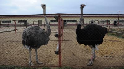 Подмосковные ветеринары проверили здоровье страусов