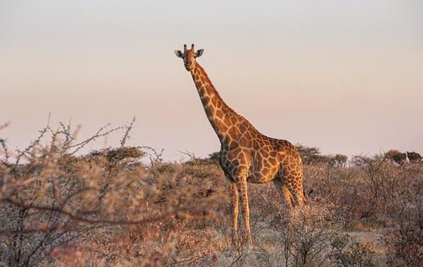 У жирафа нашли уникальный ген, защищающий от гипертонии