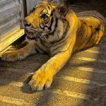 Хьюстонский тигр найден живым и невредимым
