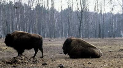 Шестерых зубров из Приокско-Террасного заповедника отправили в Калужскую область