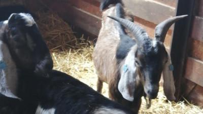 Племенных коз и овец привезли в Подмосковье из Чехии