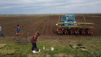 Порядка 97% картофеля посеяли в Московской области