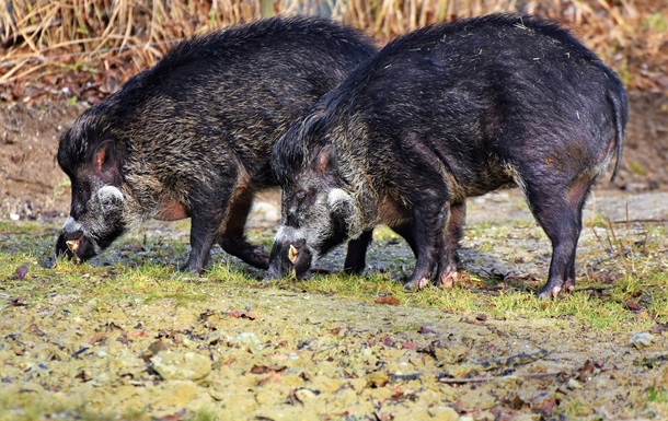 Дикие свиньи приносят климату больше вреда, чем автомобили - ученые