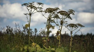 Свыше 12 тыс. га земель обработали против борщевика в Московской области за месяц