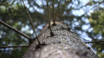 Деревья пораженные жуком-короедом