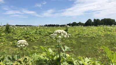 Осужденных привлекли к покосу борщевика в Московской области