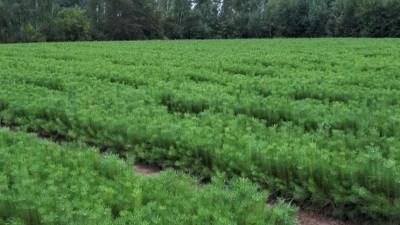 Подготовка к осеннему лесокультурному сезону продолжается в лесных питомниках Подмосковья