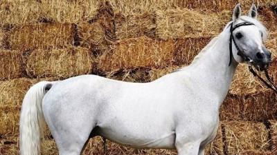 Племенная организация по разведению лошадей арабской породы появится в Подмосковье