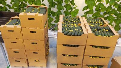 Подмосковье удерживает 2 место в рейтинге РФ по валовому сбору овощей в зимних теплицах