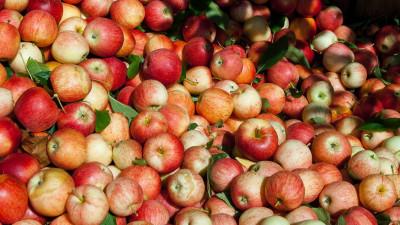 Подмосковные садоводы смогут сдать яблоки на переработку