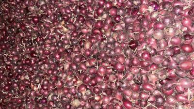 Подмосковные сельхозпредприятия завершили сбор урожая лука элитных российских сортов