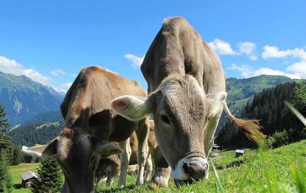 Ученые решили научить коров пользоваться туалетом